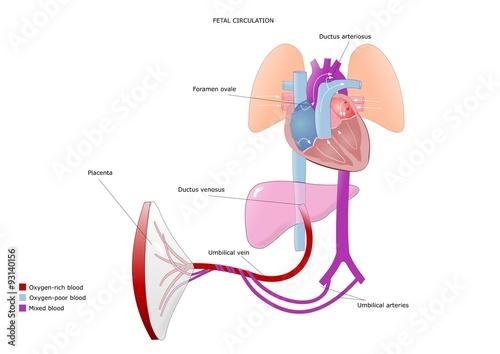 Fotografie, Obraz  schema della circolazione fetale