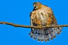 Angry Cooper's Hawk