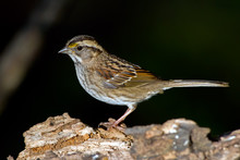 White-throated Sparrow Standin...