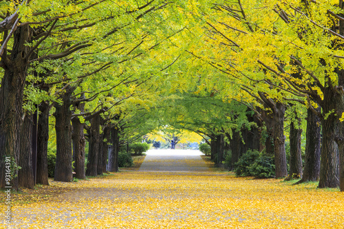 Fotografie, Obraz  Yellow autumn color adorns the trees in this grove of Ginkgo tre