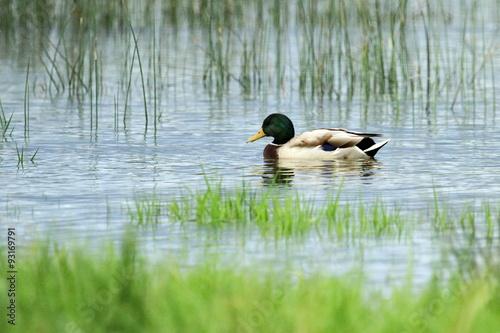 Male mallard or wild duck, anas platyrhynchos, portrait Fototapeta