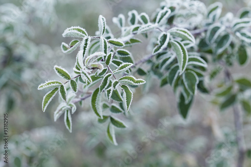 Fotografie, Obraz  Plant covered with frost, hoarfrost or rime in winter morning, natural backgroun