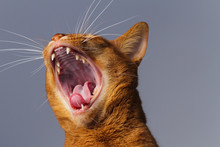 A Close Up Of An Abyssinian Ma...
