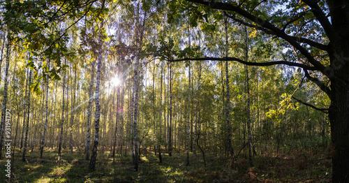 Brzozowy las - 93194792
