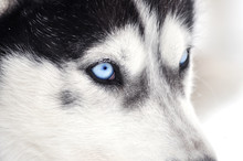 Closeup Portrait Of A Husky Dog