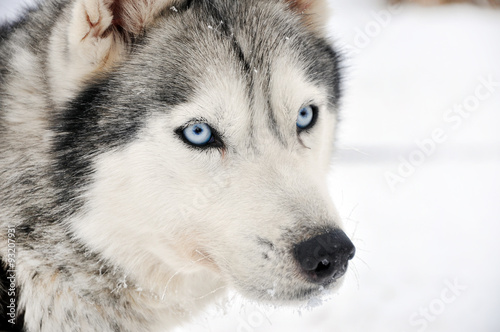 Photo  Husky portrait