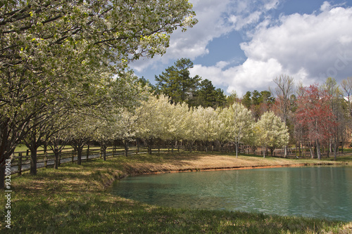 Bradford Pear Trees in White Bloom around a Small Lake