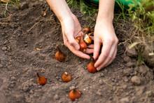 Planting Flower Bulbs (tulip) In The Flower-garden In Autumn