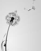 Black And White Background With Dandelion