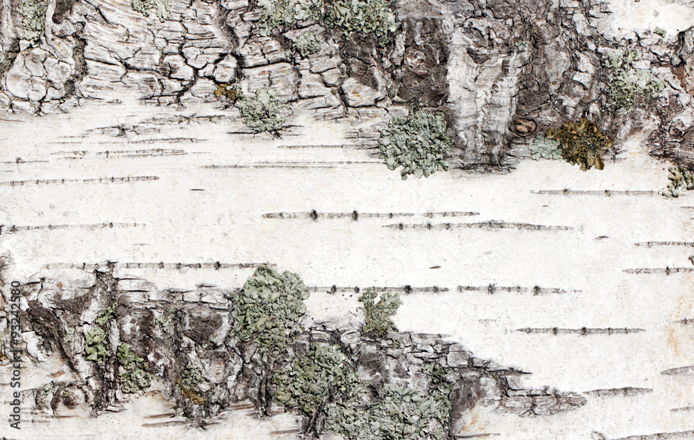 Closeup view of birch tree silver bark texture. Suitable for an abstract background.