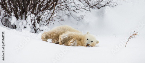 In de dag Ijsbeer Little Bear plays with a branch in the tundra. Canada. An excellent illustration.