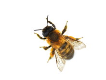The Wild Bee Osmia Bicornis Re...