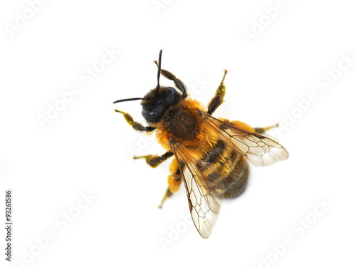 Spoed Foto op Canvas Bee The wild bee Osmia bicornis red mason bee isolated on white