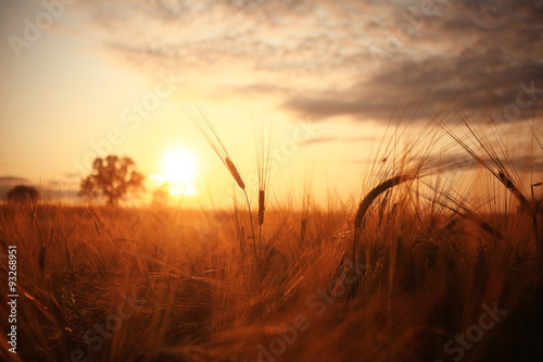 Poster de jardin Rouge mauve Sunset in Europe in a wheat field