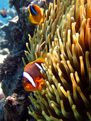 Fototapeta clownfish on anemone