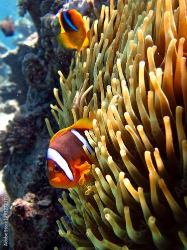 clownfish on anemone - 93272370