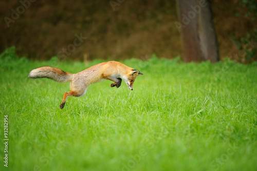 Red fox on hunt, mousing in grass field Tapéta, Fotótapéta