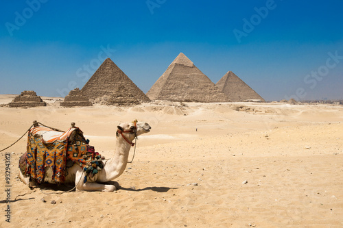Poster Chameau pyramids of Giza in Cairo, Egypt.