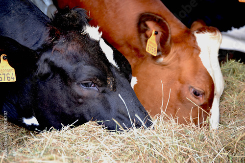 Fotografie, Obraz  vaca lechera comiendo heno,pastando en un establo.