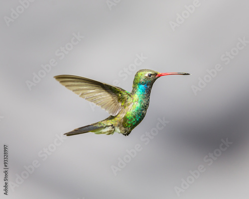 Photo Stands Bird Broad Billed Hummingbird hovering against a blue background protecting his territory. These birds are found in central Mexico. This picture would make an ideal subject for a painting, calendar and art