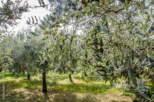 Papiers peints Oliviers Ulivo ed olive del mediterraneo, Italia e Grecia