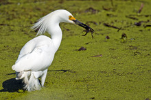 Snowy Egret With Frog