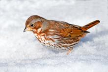 Fox Sparrow In The Snow