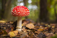 Poisonous Wild Mushroom Amanita Muscaria In A Forest