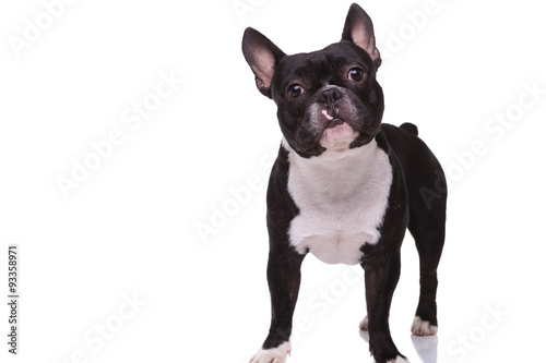 Deurstickers Franse bulldog full body picture of a cute french bulldog puppy standing