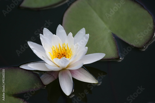 Garden Poster Lotus flower very juicy blooming Lotus in the pond close up