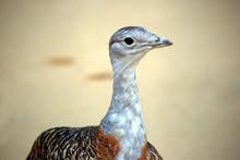 Portrait Of Bird Bustard