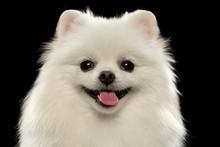 Closeup Portrait Of  White Spitz Dog On Black
