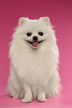 Portrait Of Sitting Spitz Dog On Colored Background