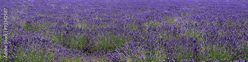 Printed kitchen splashbacks Lavender panoramique sur lavandes