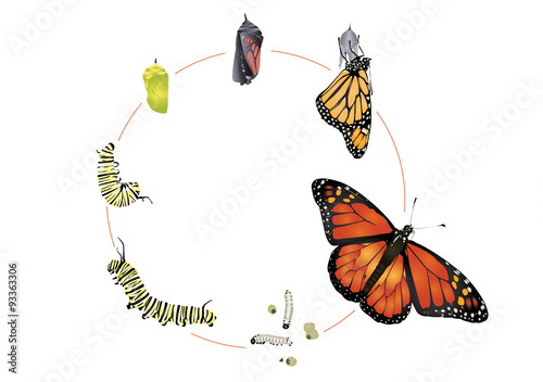Leinwand Poster Life cycle of monarch butterfly.