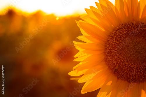 Sonnenblume Fototapete