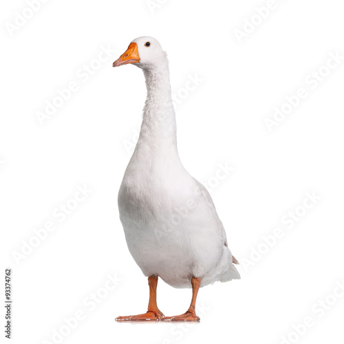 Domestic goose Fototapet