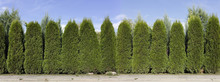 Hedge From Green  Thuja Trees