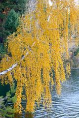 FototapetaAutumn birch over the water