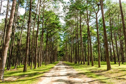 Foto op Canvas Weg in bos Walkway Lane Path With Green Trees in Pine park at Boa Keaw Silv