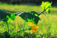 Green Shoots And Flowers Of Pu...
