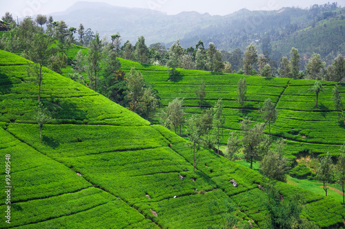 Deurstickers Groene Tea leaves in tea plantation