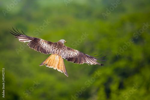 Photo  Red Kite in Flight