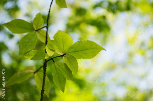 Garden Poster Spring bokeh in sunny forest, Image of twig with fresh green leaves in