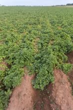 Potato Field, Prince Edward Island, Canada; Green Plants, Red Soil
