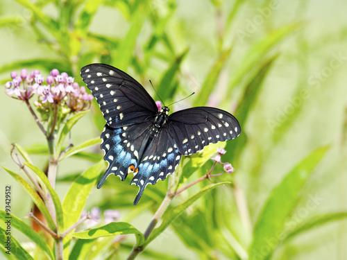 Photo Black Swallowtail Butterfly