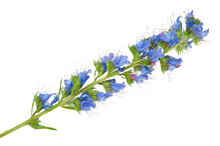 Medicinal Plant: Echium Vulgare