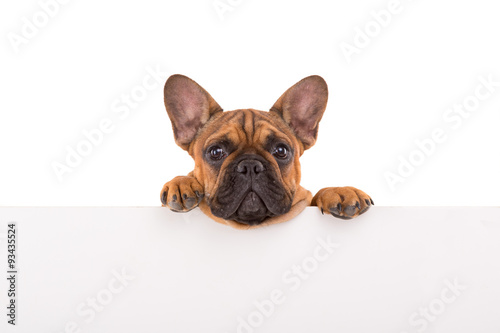 Poster Bouledogue français French Bulldog puppy