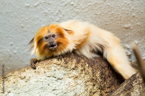 Photo  Golden Lion Tamarin