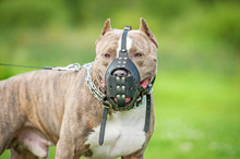 American Staffordshire Terrier Dog Wearing A Muzzle